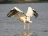02pelican_on_lake_tana