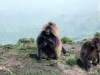 simien-mountains-gelada-2