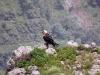 simien-mountains-lammergeier