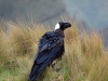 simien-mountains-thick-billed-raven